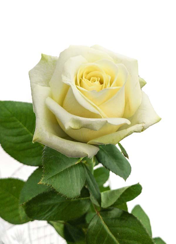 Gospodarstwo Ogrodnicze Aneta Haba - hodowla róż na kwiat cięty